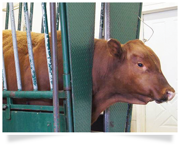 cattle head clamp cattle farming training agricultural consulting