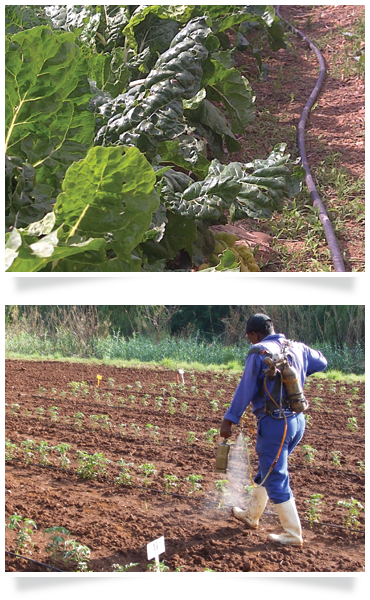 drip irrigation vegetable farming agricultural consulting