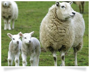 sheep training agricultural courses agricultural consulting